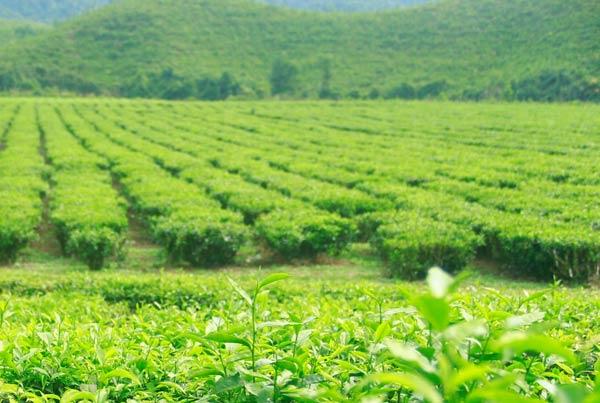 Phượt lên đồi chè Đông Giang ở Quảng Nam
