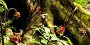 Vườn sâm Ngọc Linh – Tăk Ngo.